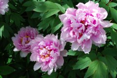 Paeonia officinalis - Pfingstrose 2.jpg